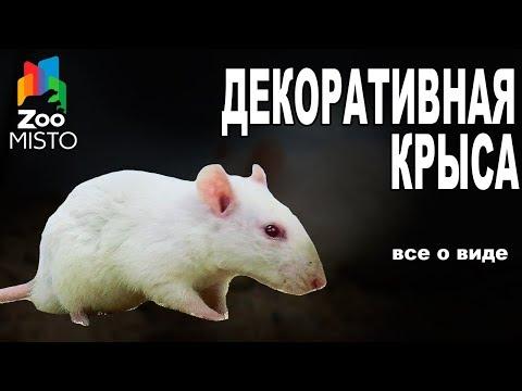 Декоративная Крыса - Все о виде грызуна