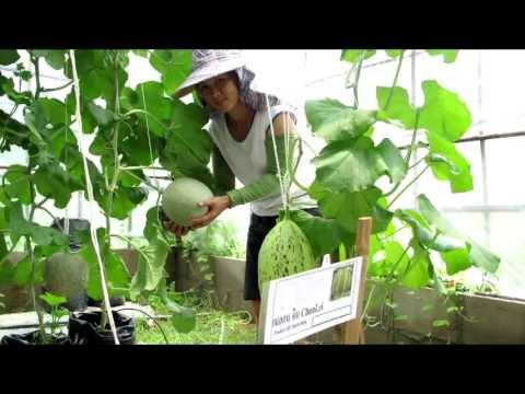 การปลูกเมล่อน - แตงธิเบตและเมล่อนญี่ปุ่น ทดลองปลูกที่จังหวัดแพร่ โดย ชัยณรงค์ ฟาร์ม www.kasethitech.com...
