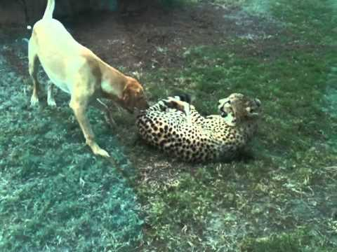 狗豹打成一片