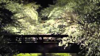 犬山羽黒桜だより4・夜桜・五条川・小弓の庄