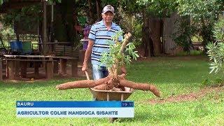 Produtor rural de Bauru colhe mandioca gigante com 60 kg