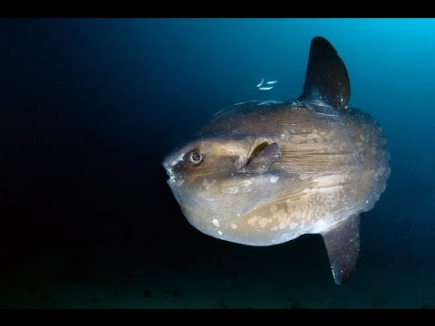 Рыба-Луна или Мола-Мола