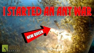 Oh No - I Started an Ant War