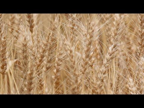 小麦畑 実りの季節 兵庫・加古川
