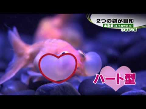 アートアクアリウム ~札幌・金魚の灯~ 「水泡眼」