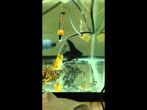 Angelfish Fry Day 8