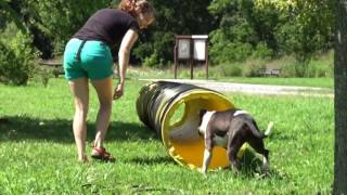Domino - Pit Bull Terrier (short coat) Dog For Adoption
