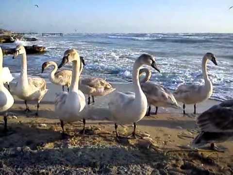 Природа море лебеди... красота