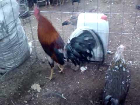 gallo español puro