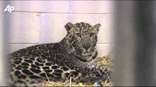Raw Video: Rescued Ohio Exotic Animals