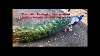 Male Peacock's (Peafowl) sounds and it's long colourful tail