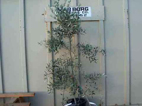 15 Corantina standard form olive