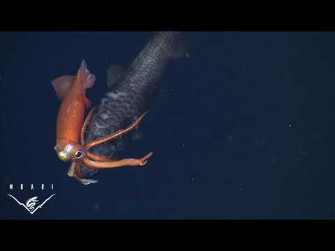 The First Time See a Deep Sea Squid Killing A