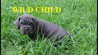 Neapolitan Mastiff (Mastino Napoletano) Wild Child puppy (pictured at 40 days old, 8 weeks old, 5 and 11 months old in this video) is World Class Top Quality incredibly beautiful blue Italian neo mastiff dog with beautiful, correct square block head with the correct ear set and wrinkles position; full denture, correct body confirmation, massive with enormous bones, muscled and athletic, broad chested, robust, HUGE, strong, good feline (lion-like) movement.  http://www.neapolitans.org The Mastino Napoletano dog (Neapolitan Mastiff, Italian Mastiff, Il Cane Mastino) is an ancient dog breed, rediscovered in Italy in the 1940's. The Neapolitan Mastiff is a breed that was reconstructed in the 1940s by Piero Scanziani and other lovers of the Mastini.Throughout history, the Neapolitan Mastiff was used by the Romans in wartime, later as a hunter of deer and wild boar, and fighters of wild animals in the circus and in arenas as gladiators, but always remaining true to its heritage with an inherent talent as a guard dog especially in the Roman villas of Campania. Many of the early Mastini were depicted in many artifacts, statues, and carvings in which the artist depicts the massive head, skin folds especially an exaggerated dewlap, and cropped ears. the Neapolitan Mastiff remained in its home offering companionship and protection to its people. The Neapolitan Mastiff is a heavy-boned, massive, impressive dog bred for use as a guard and defender of owner and property. His loose skin is all over his entire body, and is abundant with hanging wrinkles and folds on the head and a voluminous dewlap. His intense, piercing stare and regal stoicisms are enough to ward off an intruder; however, with its owner it is highly loyal and affectionate.http://www.neapolitans.org