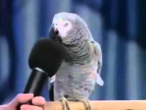 gratis download video - Burung-Lucu-dan-Pintar-Peniru-Suara-bikin-ketawa-dan-kagum
