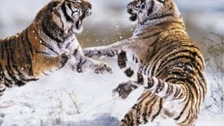 O Predador e a Presa: Tigre Siberiano (Dublado)