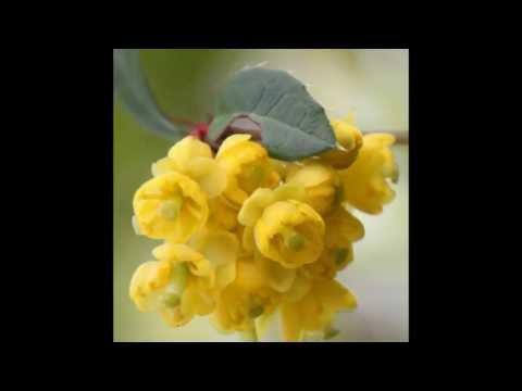 berberis vulgaris – caratteristiche