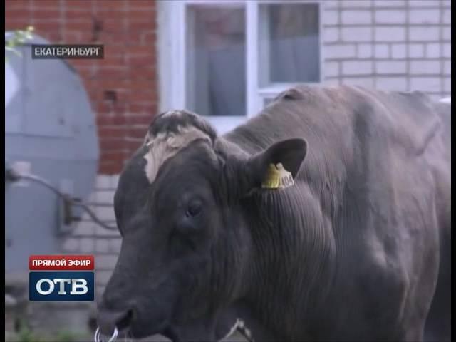 Уральские быки производители покорили промышленников из Подн