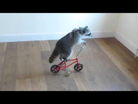 Con Chồn biết đi xe đạp :v