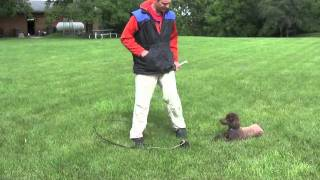 Miniature Poodle Obedience Training