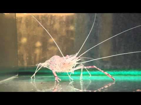 9cm Prawn Freshwater Long Claw