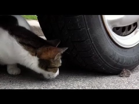 Cat Chases Mouse Around Car Tire