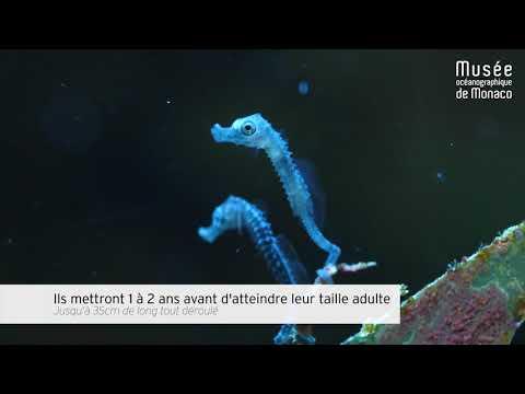 Bébés Hippocampes - Seahorse Babies