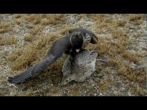 Falcon Grabs Pheasant In Mid-Air!!!!!