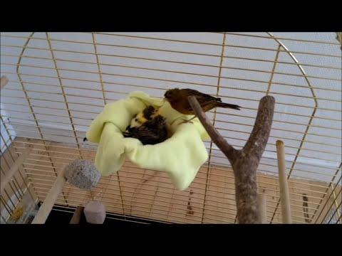 Canary -
