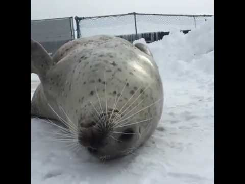 Seal slapping his fat in slow motion