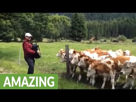 Krowy kochają akordeon