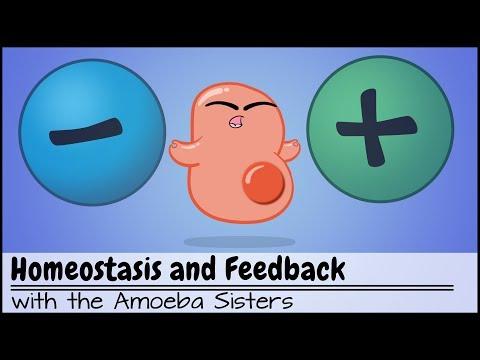 Homeostasis and Negative/Positive Feedback