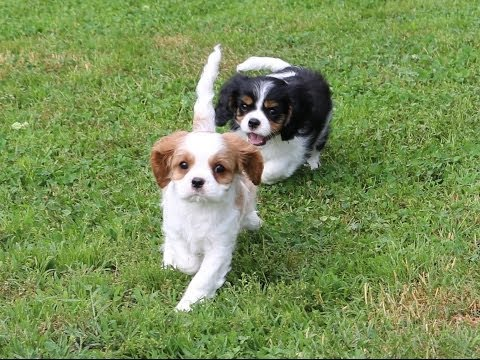 puppy cavalier king playing outside!