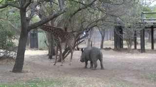 A giraffe kicked a naughty rhino