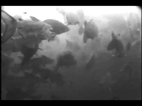 Images sous-marines de carpes et barbues dans le Fleuve Saint-Laurent