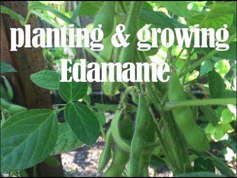 planting & growing Edamame - southern california gardening