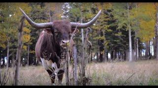 Download Lagu Longhorn Winter   Documentary Trailer Mp3