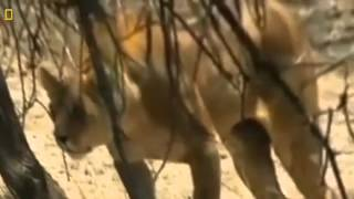 Video Lions Documentary: Lions & Hyenas WARNING!!! Total Destruction *National Geographic Docume MP3, 3GP, MP4, WEBM, AVI, FLV November 2018