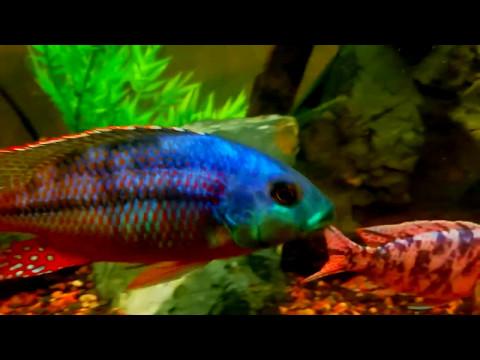 Нимбохромис фускотениатус (Nimbochromis fuscotaeniatus)