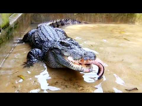 Nơi ở mới của cá sấu, đi câu cá và con rắn lạ (Phần 3) - Thời lượng: 38:10.