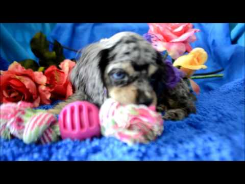 Ariel AKC Blue Merle BLue Eyes Cocker Spaniel Puppy for sale