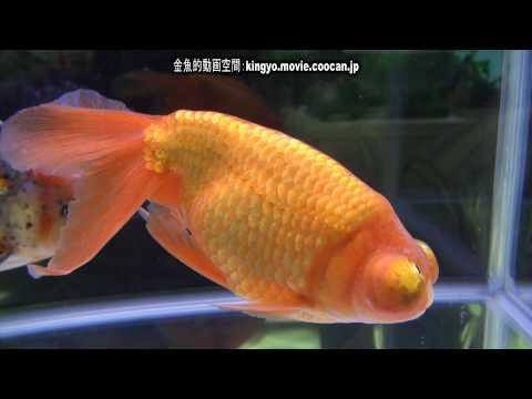 [頂天眼]第28回日本観賞魚フェア 親魚の部 優勝:大沢 晋平氏持魚