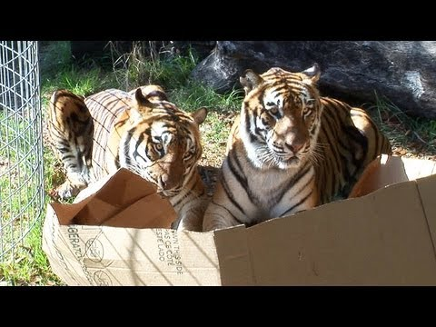 big - Tigers, Lions & Leopards love boxes too! Just like domestic cats! To find out more about Big Cat Rescue, our mission and volunteer opportunities please visit...