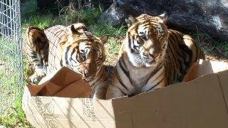 Большие кошки и картонные коробки