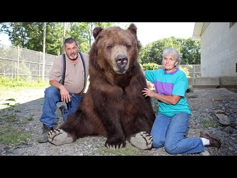 If you've ever wondered just how big a kodiak bear is...