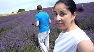 Hitchin United Kingdom  city photos gallery : Lavender Farm - Hitchin / UK
