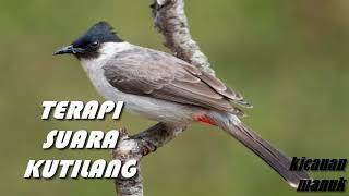 terapi suara burung kutilang agar cepat gacor