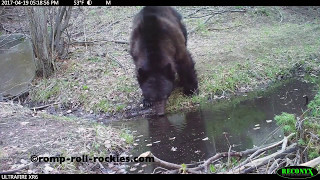 Video Live Footage of a Black Bear Demolishing my Trail Camera (April, 2017) MP3, 3GP, MP4, WEBM, AVI, FLV Juli 2017