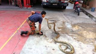 Video Show king cobra with fireman MP3, 3GP, MP4, WEBM, AVI, FLV Mei 2019