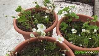 #1437 Die Blüte der arktischen Moltebeere Arom